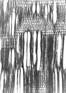 PASSIFLORACEAE Erblichia antsingyae