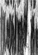 MALPIGHIACEAE Acridocarpus adenophorus