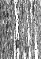 MELIACEAE Lepidotrichilia convallariiodora