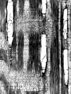 MORACEAE Trophis montana