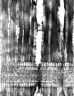 MORACEAE Trilepisium madagascariense