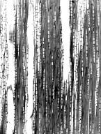 MYRTACEAE Syzygium emirnense