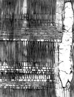 MORACEAE Streblus dimepate