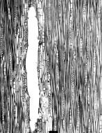 MORACEAE Treculia africana