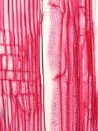 SABIACEAE Meliosma pinnata