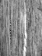 SAPINDACEAE Allophylus floribundus
