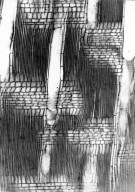 RHAMNACEAE Colubrina articulata