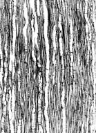 SALICACEAE Salix madagascariensis