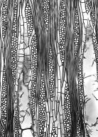 CLUSIACEAE Symphonia tanalensis