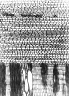 SALVADORACEAE Azima tetracantha