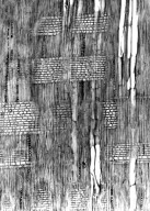 SAPINDACEAE Allophylus cobbe