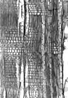SAPOTACEAE Capurodendron sakalavum