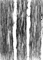 SARCOLAENACEAE Pentachlaena orientalis