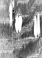 SALICACEAE Tisonia baillonii
