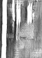 SALICACEAE Homalium oppositifolium