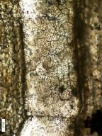 MALVACEAE Sterculinium shahpurensis