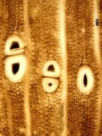 MORACEAE Artocarpoxylon deccanensis