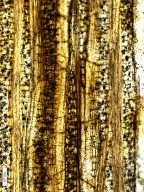 LECYTHIDACEAE Barringtonioxylon mandlaense