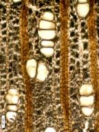 LECYTHIDACEAE Barringtonioxylon eopterocarpum