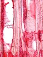 ERICACEAE Agarista salicifolia