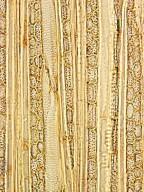 ACHARIACEAE Scaphocalyx spathacea