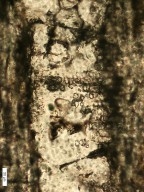 "MYRTACEAE ""Tristania"" confertoides"
