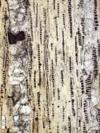 "MYRTACEAE ""Eucalyptus"" dharmendrae"