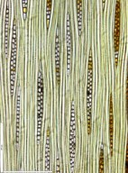 LEGUMINOSAE CAESALPINIOIDEAE Paramacrolobium coeruleum