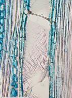 ANNONACEAE Isolona hexaloba