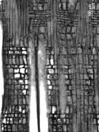 SALICACEAE Flacourtia ramontchi