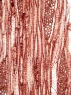ELAEAGNACEAE Elaeagnus angustifolia