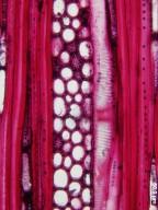 VIBURNACEAE Viburnum stellatotomentosum