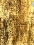 MALVACEAE Sterculinium deccanensis