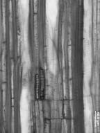 CLETHRACEAE Clethra alnifolia