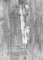 EUPHORBIACEAE Croton mongue