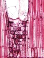MALVACEAE BYTTNERIOIDEAE Theobroma bernoullii