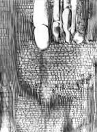 ELAEOCARPACEAE Elaeocarpus subserratus