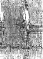 EBENACEAE Diospyros gracipiles