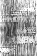 SIMAROUBACEAE Quassia indica