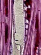 SALICACEAE Azara integrifolia