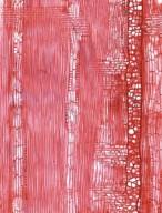 LEGUMINOSAE MIMOSOIDEAE Piptadenia robusta