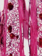 PRIMULACEAE MYRSINOIDEAE Myrsine guianensis