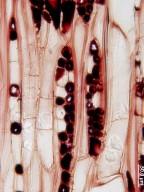 MALVACEAE DOMBEYOIDEAE Pterospermum diversifolium