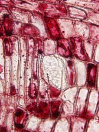 GROSSULARIACEAE Ribes cynosbati