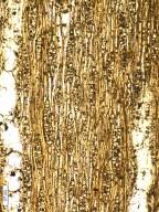 ANACARDIACEAE Lanneoxylon grandiosum
