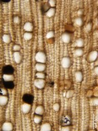 MALVACEAE FOSSIL Grewinium intertrappeum