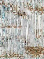 BALANOPACEAE Balanops pedicellata