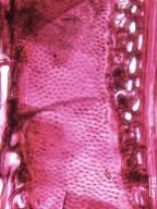 LECYTHIDACEAE Eschweilera tenax