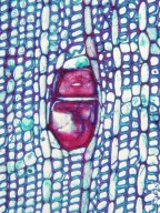 EUPHORBIACEAE Nealchornea yapurensis