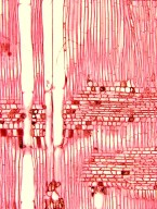 MALPIGHIACEAE Byrsonima crassifolia